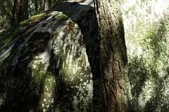 dappled light (lawatt) Tags: tree granite rock moss shadow yosemite sonya7 leica 50mm summicronr