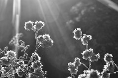 Backlit Winter Foliage (Never Exceed Speed) Tags: blackandwhite flora starfilter backlit sunburst plant foliage winter