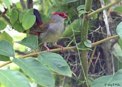 Red-browed Finch (Neochmia temporalis) (Greg Miles) Tags: finch redbrowedfinch neochmiatemporalis calga newsouthwales australia
