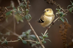 Gold Finch-1-7 (vdrobphoto) Tags: finch goldfinch songbirds birds nature wildlife canon400mm56l canon7d11 coth coth5