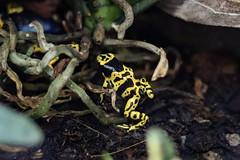 35.Yellow-head poison frog (Dendrobates leucomelas)🐸 (Manupastor43) Tags: