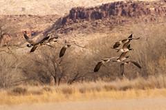 Bosque Adventure on 2.17.19 (phicks172) Tags: bosqueadventureon21719 dsc4844 bird goose bosquedelapache canadagoose nature nm usa