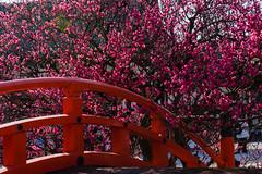 DSC_0151 (ponkiti3) Tags: 下鴨神社 京都 梅 植物 風景