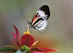 Heliconius Butterfly (eros3714) Tags: butterflies heliconiusbutterfly naturephotography nikon naturecenter nikond500 eros