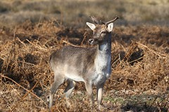 0M2A4890 Fallow Deer young buck (kevin_livesey) Tags: wildlife nature buck deer fallow