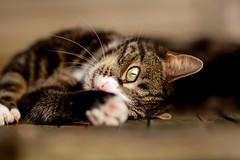 'Reach' (Jonathan Casey) Tags: cat tabby rescue sunshine kitten sun golden nikon d850 sigma 135mm art f18