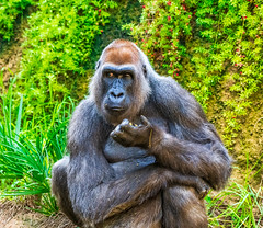 Having a snack! (FotoMemi) Tags: losangeles nikond850 d850 scenery fauna nikkor200500mmf56vr flickr digital california unitedstatesofamerica us gorilla ape westernlowlandgorilla telephoto losangeleszoo