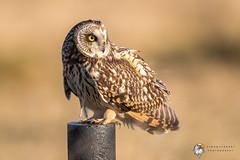 Short Eared Owl (Simon Stobart - Back For Now) Tags: short eared owl asio flammeus north east england uk ngc npc