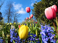 DSCN0472 (alainazer2) Tags: keukenhof nederland paysbas holland hollande fiori fleurs flowers ciel cielo sky albero arbre tree