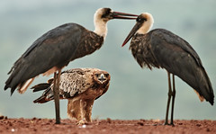 ZIM_6838 (lucvanderbiest) Tags: tawnyeagle savannearend scavengershide woollyneckedstork bisschopsooievaar zimangaprivatereserve southafrica