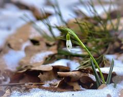 DSC_4634-AD (adenkis) Tags: nature naturephotography flower snowdrop leaves snow plant natureinfocusgroup