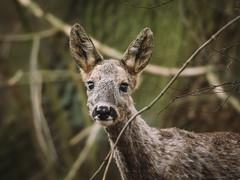sarna (jarek.pretorius) Tags: sarna roe roedeer deer wildlife nature