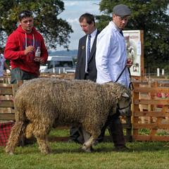 Onward (meniscuslens) Tags: sheep white coat show event fence grass bucks county buckinghamshire aylesbury weedon