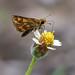 Potanthus sp (Dart sp)