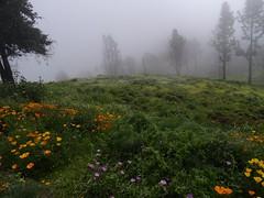 Cruz de Tejeda, the cloudy side (Wider World) Tags: grancanaria cruzdetejeda flowers flora pines verdent cloud mist spain espagna