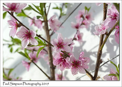 Peach Blossom (Paul Simpson Photography) Tags: blossom peachblossom peachtree nature normanbypark naturalworld tree springblossom paulsimpsonphotography imagesof imageof photoof photosof sonya77 england pinkblossom march2019 glasshouse greenhouse victoriangarden twigs branches photosofnature