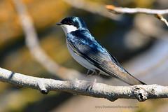 Tree_Swallow_01 (DonBantumPhotography.com) Tags: wildlife nature animals birds donbantumcom donbantumphotographycom treeswallow whiteandbluebird
