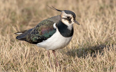 Lapwing (Steve (Hooky) Waddingham) Tags: animal countryside coast bird british nature wild wildlife wader planet