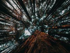 BOSQUE DE GIGANTES (Mr. Unaited) Tags: bosque de secuoyas sequoias cantabria la sal cabezón monte corona gopro hero 7 black españa turismo planes hoy