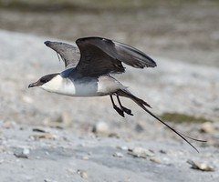 Stercorarius longicaudus (ftbirds) Tags: tuncurry nsw australia barry m ralley barrymralley pelagic bird species great lakes region stercorarius longicaudus longtailed jaeger