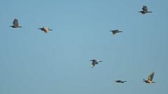 Желтая цапля, Ardeola ralloides, Squacco Heron (Oleg Nomad) Tags: желтаяцапля ardeolaralloides squaccoheron африка ботсвана птицы окаванго bird aves africa botswana okavango travel