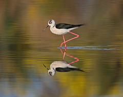 Black winged Stilt (La_Wildlife) Tags: bird birds nature wildlife lesvos wader water reflection canon ngc
