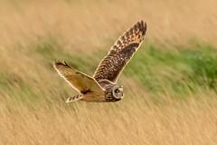 Owl series #1 (Trev Green) Tags: nikon sigma parkgate wirral owl bird d500