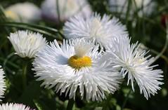The Daisy Fountain.... (markwilkins64) Tags: daisy nature plant bokeh