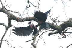 Lewis's Woodpecker - Melanerpes lewis - Napa County, California, USA - February 7, 2019 (mango verde) Tags: lewisswoodpecher melanerpeslewis picidae woodpeckers melanerpes lewis woodpecker bird napacounty california usa mangoverde