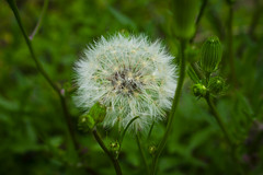 Dandelion (adaliphoto) Tags: houston texas park outdoors nature amazing beautiful love photography nikon d3400 houstontx tx buffalo bayou cloudy winter summer stunning adaliphoto photo visuals spring art statue sculpture grass trees downtown uptown water green blue red yellow pink orange purple outdoor explore space greenspace modern city usa dandelion flower flowers wish wishing wishes stem weather fall youth young