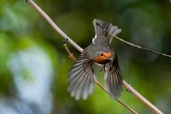 GOT TO FEED THEM ALL (Paul Wrights Reserved) Tags: robin robins robininflightrobin flightbirdbirdingbirdsbird watchingbird flight wing wins wings