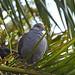 Dusky Turtle-Dove (Goba)