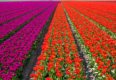 Dazzling in Tulip colors (Michiel Pols) Tags: tulips spring netherlands gx9 urk holland keukenhof flower flowers flora earth panasonic lumix micro four thirds g fields horticulture color tulip botanica landscape red green row line lines rows time