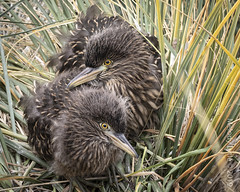 Black-crowned Night-Heron chicks (karenmelody) Tags: animal animals ardeidae bird birds blackcrownednightheron bleakerisland falklandislands heron herons nycticoraxnycticorax pelecaniformes vertebrate vertebrates location fk