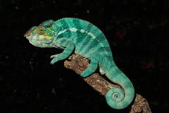 Panther Chameleon-F4060335 (tony.rummery) Tags: animal chameleon closeup em5mkii furciferpardalis mft macro microfourthirds omd olympus panther reptile camberley england unitedkingdom gb