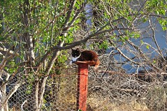 Feline Fence Friday (holly hop) Tags: cats clowder clutter kitty kitten feral feline wild animal fence 100x