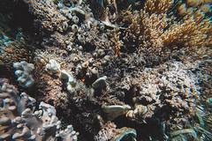 GOPV15141 (waychen_c) Tags: philippines ph visayas centralvisayas bohol provinceofbohol baclayon municipalityofbaclayon pamilacan pamilacanisland boholsea sea seascape coralreef coral fish clownfish tropicalfish cebutour2019 菲律賓 維薩亞斯 維薩亞斯群島 中維薩亞斯 保和 保和省 巴卡容 帕米拉坎 帕米拉坎島 珊瑚礁 珊瑚 熱帶魚 小丑魚 2019宿霧旅行 gopro goprohero7black tomatoclownfish 紅小丑 白條雙鋸魚 保和海