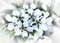 Blossom (Helen Orozco) Tags: sliderssunday hss photoshop blossom pearblossom