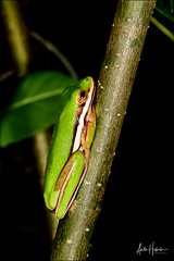 Green treefrog hiding on the tree branch (hakoar) Tags: portrait climb nature sleeping skin reptile animal small looking palm macro nocturnal yellow pattern hiding frog florida balance fauna leg colorful wildlife wilderness vivid hylacinerea plant eye closeup green greentreefrog amphibia hanging stance pose reptilia unitedstatesofamerica us