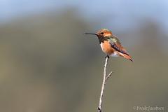 Allen's Hummingbird (Selasphorus sasin) (Frode Jacobsen) Tags: allenshummingbird selasphorussasin hummingbird bird aves california frodejacobsen