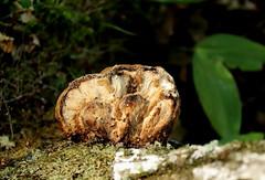 Vääveltorik (Laetiporus sulphureus). (Imbi Vahuri) Tags: imbivahuri fungi seened polyporales torikulaadsed laetiporus vääveltorik estonia