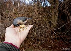 Eating Out Of Our Hands... (angelakanner) Tags: sonynex6 elizabethmortonbirdsanctuary titmouse seeds longisland winter