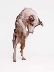 Focussed (Chris Willis 10) Tags: jake jump star studio dog animal pets canine studioshot mammal domesticanimals purebreddog whitebackground puppy cutout cute younganimal looking fulllength oneanimal mixedbreeddog nopeople frontview white foxjump pounce