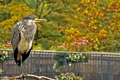 """Perching"" (42jph) Tags: nikon d7200 uk england hayfield peak district grey heron bird nature wildlife derbyshire"
