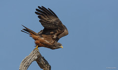 Yellow-billed Kite take off -9940 (Theo Locher) Tags: birds geelbekwou milvusparasitus oiseaux vogels vögel yellowbilledkite zuidafrika southafrica krugernationalpark kruger copyrighttheolocher