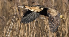 Bittern in flight (ftm599) Tags: northeast nikonphotography wildlifephotography naturephotography photography actionphotography nikon nature wildlife wild pond reeds bitternsandherons flying action birdsinflight birdinflight birds bird bitterns bittern
