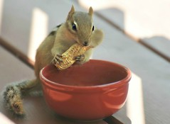 Missing my lil friends...cannot wait until spring! (nushuz) Tags: animal tiny chippie chipmunk mylittlefriends cannotwaittilspringtoseethemagain peanuts sooocute myporch thatpeanutdoesnotfitinhismouthlol coldinvt 64daysuntilspring thecountdownisofficiallyon littlereddish
