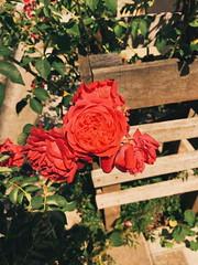 cheryl blossom (primaveraepoeta) Tags: flowers rose red flores vermelho rosa