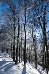 Dans la hêtraie (Vosges, France)