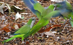 And Then a Fight Broke Out! (Kaptured by Kala) Tags: quakerparrot monkparakeet parrot greenandbluebird myiopsittamonachus wildparakeet whiterocklake dallastexas liveoak acorns closeup nearwinsteadparkinglot fight squabble bicker aggressive flurry colorful eating feeding sociable